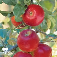 Apple Triple Grafted Golden DeliciousGranny Smith And Jonathan Triple Grafted Fruit Trees