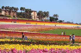 mike mcp on twitter carlsbad s flower fields are a rite of spring in southern california s t co qm81odym4f