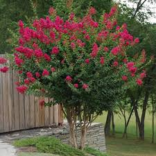 Image result for crepe myrtle trees