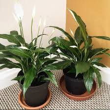 Light For Peace Lily Peace Lily Care Everything You Need To Know About Caring