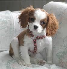 cavalier king charles spaniel puppy 10 weeks old