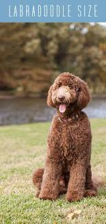 Labradoodle Size A Guide To Every Labradoodle Size