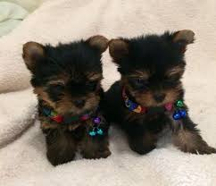 teacup yorkie puppies for adoption. Brilliant Teacup Amazing Teacup Yorkie Puppies For Adoption Text 609 5369707 And R