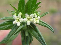 Lithospermum officinale Gromwell, European stoneseed PFAF Plant ...
