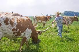 Longhorn Horn Growth Chart Texas Longhorn Cattle Management Tips Dickinson Cattle Co