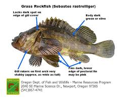 California Rockfish Chart Odfw Finfish Species Rockfish