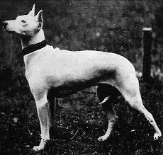 olde white english terrier bylandt ausgestorbene hunderassen 2 der beutelwolf blog