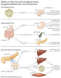 Insulin Definition Structure Function Britannica