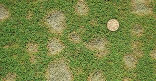 What Causes Dollar Spot Lawn Solutions Australia