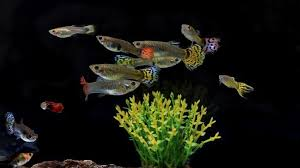 The Complete Guppy Care Guide Breeding Tank Requirements