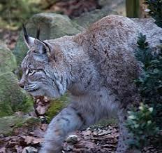 lynx size lynx wikipedia