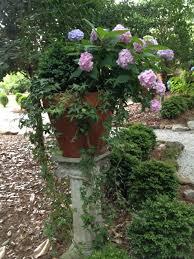 growing hydrangeas in pots container