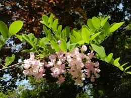 photo of a black locust branch with round leaflets on leaves and large cers of