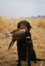 chocolate lab pheasant hunting. Unique Chocolate A Beautiful Chocolate Lab Looking So Proud Of His Retrieve Dogs Hunting  Intended Chocolate Lab Pheasant Hunting C