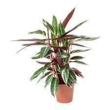 Stromanthe Light Stromanthe Sanguinea Triostar In 2019 Indoor Shade Plants