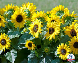 sunflower suntastic yellow with black center f1 2016 aas bedding plant award winner suntastic is a