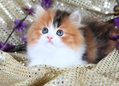 calico kittens for sale. Interesting Sale Teacup Kitten Persian Kittens Kittens For Sale Kitten  Cats And Adorable Cute Cats Calico Animals  Sale T