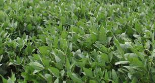 10 Years Of Research Shows Benefit Of Reducing Soybean