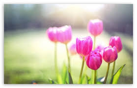 spring tulip desktop wallpaper. Perfect Desktop Download Spring Tulips Sunshine HD Wallpaper Throughout Tulip Desktop W