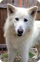 white german shepherd malamute mix. Alaskan Malamute German Shepherd Mix Google Search To White