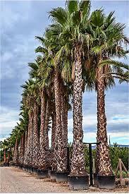 fan palm trees. washingtonia robusta palm trees - mexican fan