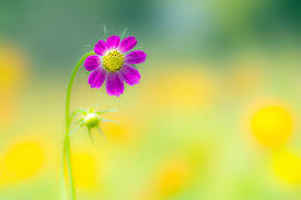 summer outdoor backgrounds. Cosmos Purple Nature Flower Outdoor Beautiful Summer Petals Rainbow Desktop Backgrounds M