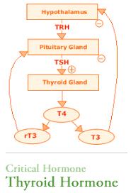 Thyroid Hormone Pathway T4 T3 Tsh Chart Thyroid Health