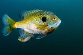 Florida Freshwater Fishing Regulations Chart What Are The Best Tasting Freshwater Fish