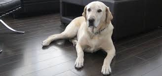 best flooring for pets. Best Flooring For Dogs - Sebring Services Pets N