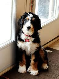 bernese mountain dog mix. Brilliant Mix What A Beautiful Pup Itu0027s Bernedoodle Thatu0027s Bernese Mountain Dog  And Poodle Mix And Mix E
