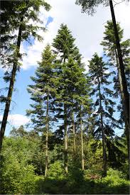 Abies grandis - Wikipedia