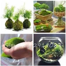 Decorative Moss Balls Decorative Grass 100 PCS Sphagnum Moss Bonsai Seeds Lovely Moss 57