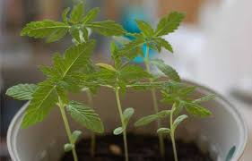 how to grow indoors at home part ii growing your first crop of