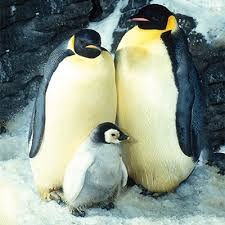 real emperor penguin. Contemporary Real Emperor Penguins For Real Penguin A