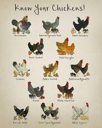 Chicken Breeds Chart Print Vintage Poultry Print Chicken