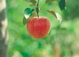 How To Know When An Apple Is Ready To Pick Home Guides