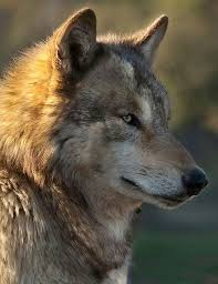 Pin De Hana Křikavová En Vlk Wolf Y Lesy