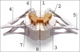Контрольная работа по теме Гуморальная и нервная регуляция класс 16 Подпишите строение спинного мозга