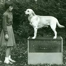 Labrador Retriever Height Chart Labrador Retriever Dog Breed Information