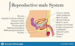 Biology Chart Education Chart Of Biology For Male Reproductive System