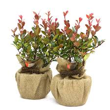 Plant Gift Photinia Little Red Robin Pair By Giftaplant Christmas Gift Plants
