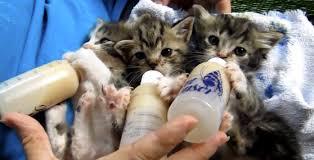 baby kittens drinking milk