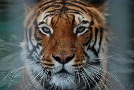 tiger face photos