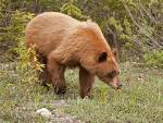 Images & Illustrations of cinnamon bear