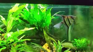 Tiger Barb Compatibility Chart Angelfish With Tiger Barbs Is Not A Good Idea