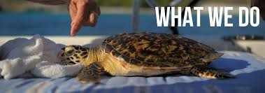 sea turtle conservation bonaire protecting endangered sea turtles since 1991
