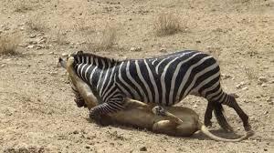 lioness hunting zebra. Wonderful Zebra Amazing Lion Vs Zebra  Kills Zebra Almost Hunting  Escapes Lion Killing  YouTube Throughout Lioness Hunting