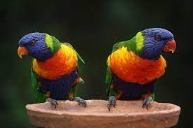 Rainbow Lorikeets — Full Profile, History, and Care