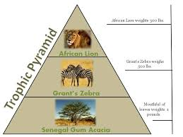 animal food pyramid. Wonderful Food It Would Take 50000 Mouthfuls Of Leaves To Satisfy A Grantu0027s Zebra  For Animal Food Pyramid