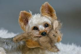 yorkshire terrier toy face